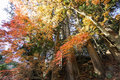 Color of tree leaves in Japan change in autumn Royalty Free Stock Photo