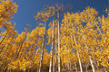 Colorado Aspen Stock Photography