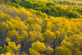 Colorado Autumn Apen Trees Royalty Free Stock Photo