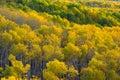 Colorado Autumn Apen Trees Royalty Free Stock Photo
