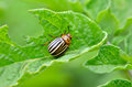 Colorado beetle eats a potato leaves young. Pests destroy a crop in the field. Royalty Free Stock Photo