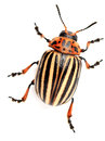 Colorado beetle on the isolated background Royalty Free Stock Image
