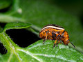 Colorado beetle macro, eating potato leaf. Leptinotarsa decemlin Royalty Free Stock Photo