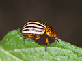 Colorado beetle macro, eating potato leaf. Profile. Royalty Free Stock Photo