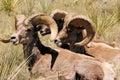 Colorado Bighorn Sheep Stock Photography
