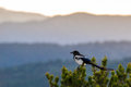 Colorado black billed magpie a perched on top of a pine tree against rocky mountains sunrise sunset Royalty Free Stock Images