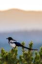 Colorado Black Billed Magpie