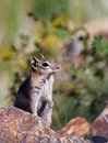 Colorado chipmunk a on rust colored rocks in central city Royalty Free Stock Photos