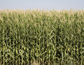 Colorado Corn Harvest Royalty Free Stock Photo