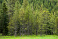 Colorado forest dense of evergreen trees in the rockies Royalty Free Stock Photo