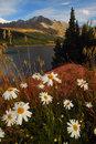 Colorado mountain daisies Royalty Free Stock Photo