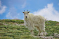 Colorado Mountain Goat Stock Image