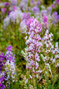 Colorado Mountain Wildflowers Royalty Free Stock Photo
