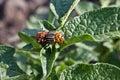 Colorado potato beetle Stock Photos