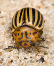 Colorado potato beetle Stock Photography