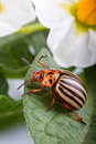 Colorado potato beetle eating leaf Stock Photo
