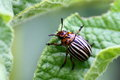 Colorado potato beetle Royalty Free Stock Photo