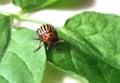 Colorado potato beetle a on green leaves Stock Photo