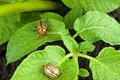 Colorado potato beetle on a green leaves Stock Images