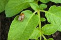 Colorado potato beetle on a green leaves Stock Photos