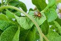 Colorado potato beetle on a green leaves Stock Image