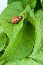 Colorado potato beetle on a green leaves Royalty Free Stock Photo