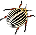 Colorado potato beetle isolated Stock Photos