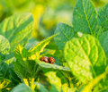 The colorado potato beetle on leaves of potatoes Royalty Free Stock Photo