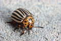 Colorado potato beetle leptinotarsa decemlineata the also known as the the ten striped spearman the ten lined Stock Photography