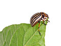 Colorado potato beetle, Leptinotarsa decemlineata, eating potato Royalty Free Stock Photo