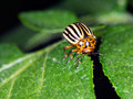 Colorado potato beetle, Leptinotarsa decemlineata, on potato lea Royalty Free Stock Photo