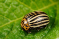 Colorado potato beetle on potato leaf a close up of a a Royalty Free Stock Photos