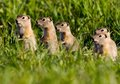 Colorado prairie dogs five standing Stock Photos