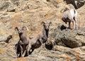 Colorado Rocky Mountain Bighorn Sheep - Band of Young Rams Royalty Free Stock Photo