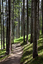 Colorado rocky mountain hiking trail in pine trees near vail this cuts through a beautiful stand of very tall Royalty Free Stock Photo