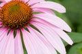 Colore rosa del fiore del cono Immagini Stock Libere da Diritti