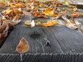 Gold leaf the fall