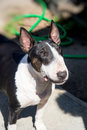 Colored bull terrier outdoor portrait a english posing outdoors for the camera in a head shot Stock Photo