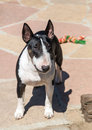 Colored bull terrier posing for the camera a english outdoors Stock Images