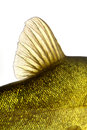 Colored fin fish underwater carp tench close up Stock Photo