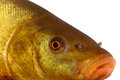 Colored fish swimming free carp tench underwater Royalty Free Stock Photography