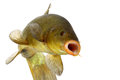 Colored fish swimming free carp tench on white background Stock Photo