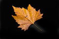 Colored leaf of sycamore one single in colors autumn the isolated on black background Stock Photos