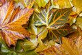 Colored leaves of sycamore several in colors autumn in different colors the Royalty Free Stock Photography