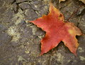 Colored maple leaf on cracked stone background Stock Photography