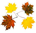 Colored maple leaves Stock Images