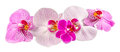 Colored orchid flowers mauve yellow pink purple orhideea phalaenopsis white background Royalty Free Stock Image