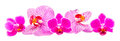 Colored orchid flowers mauve yellow pink purple orhideea phalaenopsis white background Royalty Free Stock Photos