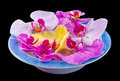 Colored orchid flowers mauve yellow pink purple in a white blue tray dark background Royalty Free Stock Image