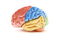 Colored sections of a human brain on white background part medical series Royalty Free Stock Photo